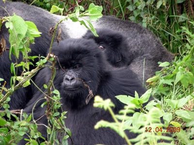 Photo: D Postels | Mountain gorillas of Rwanda