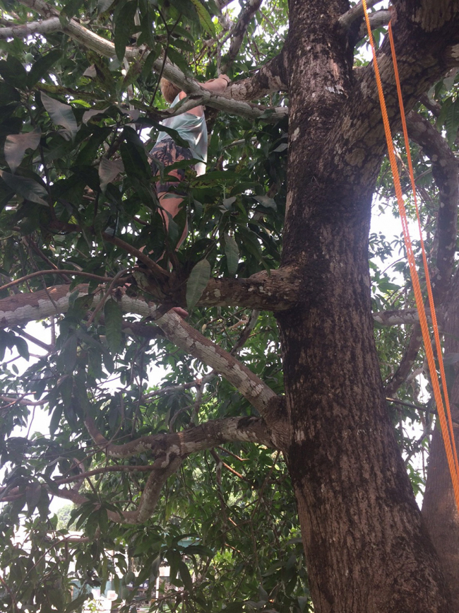 Laurens climbs up the mango tree (with fire ants) to retrieve the egg he stashed up there!