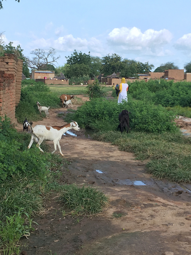 Image shows a dirt path with five goats and an assortment of buildings