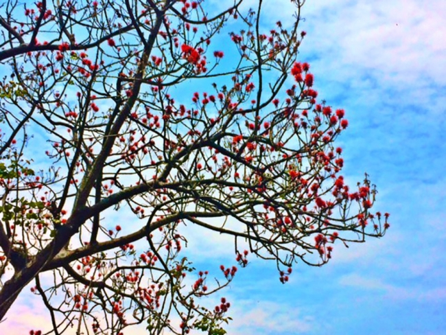 Emily's favourite tree, which has bright red flowers