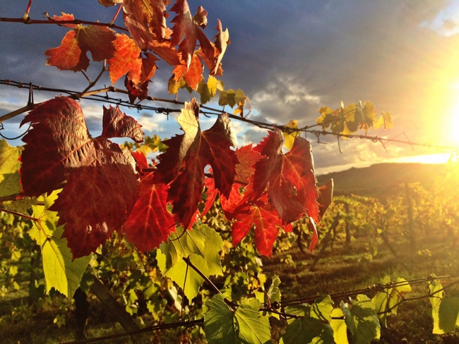 The dappled sunlight streams through the leaves of an Italian vineyard