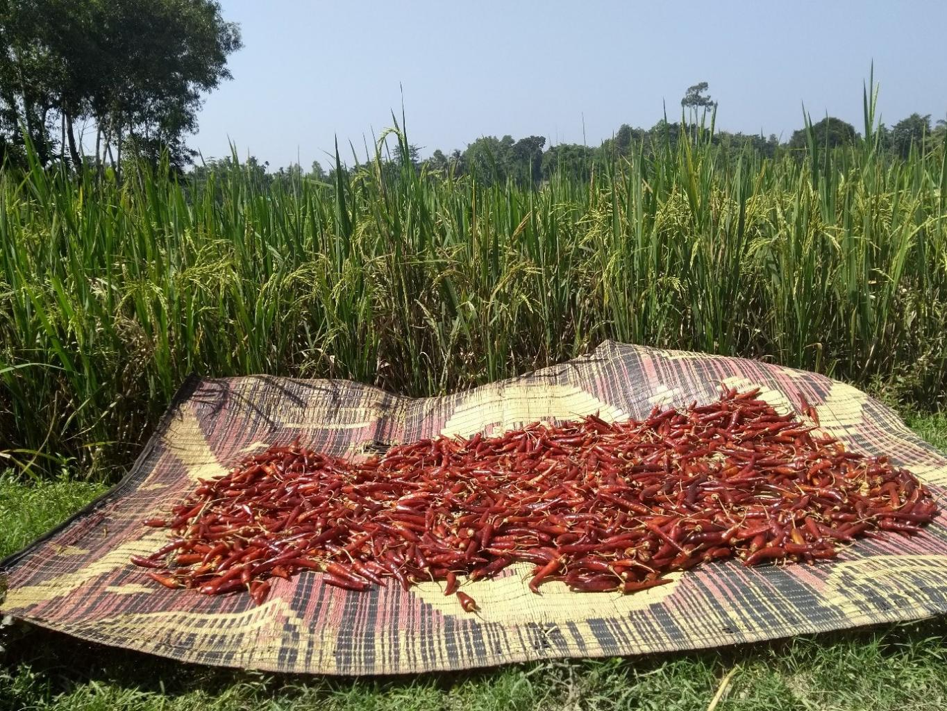 Chillies drying near the MSF staff house in Cox's Bazar