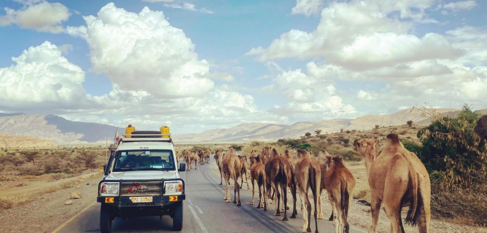 An MSF car crosses a caravan of camels during an assessment in an area of Tigray, in northern Ethiopia
