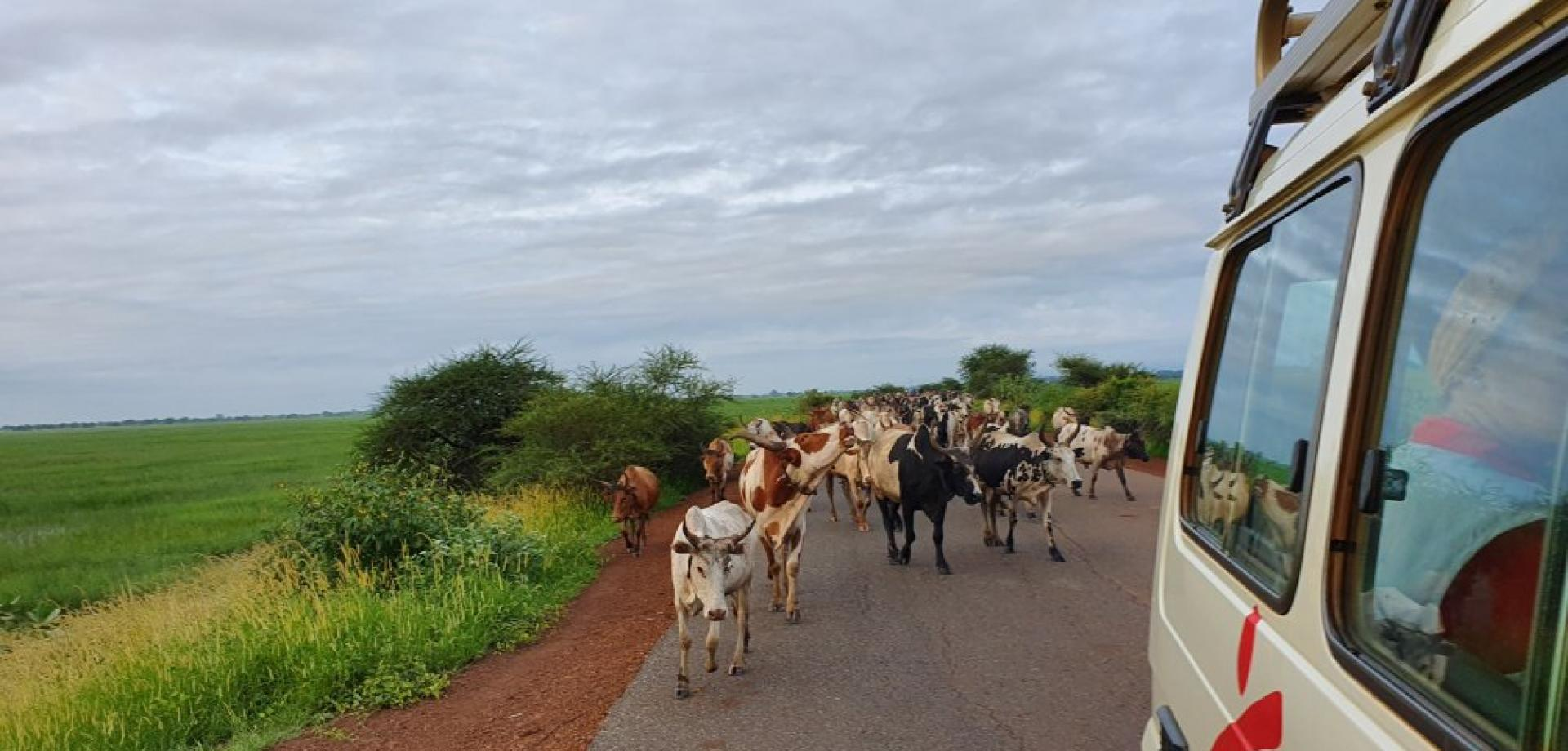 An MSF car drives past cows in South Sudan